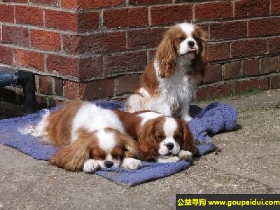 寻狗启示,查理王犬 - 身体平衡性好,表情友善,它是一只非常可爱的宠物狗狗,希望它早日回家,不要变成流浪狗。