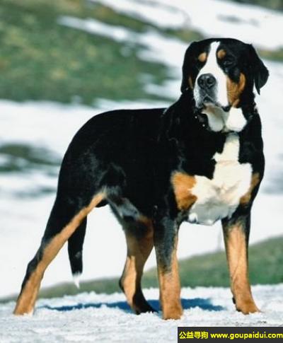 寻狗启示,大瑞士山地犬 - 对陌生人有戒备心,但与熟人和蔼,它是一只非常可爱的宠物狗狗,希望它早日回家,不要变成流浪狗。