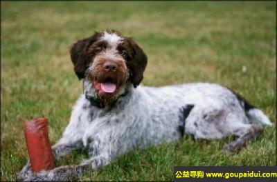 寻狗启示,德国硬毛指示犬 - 一个忠诚而友爱的伴侣,它是一只非常可爱的宠物狗狗,希望它早日回家,不要变成流浪狗。