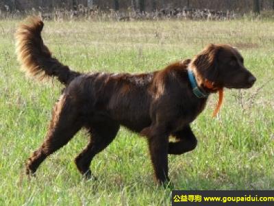 寻狗启示,德国长毛指示犬 - 安静,自控能力强,它是一只非常可爱的宠物狗狗,希望它早日回家,不要变成流浪狗。