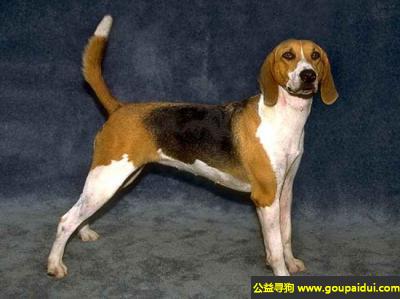 寻狗启示,大英法三色猎犬 - 结实而且优秀,它是一只非常可爱的宠物狗狗,希望它早日回家,不要变成流浪狗。