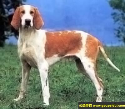 ,大英法黄白猎犬 - 嗅觉敏锐,嗓音深沉,它是一只非常可爱的宠物狗狗,希望它早日回家,不要变成流浪狗。