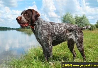 寻狗启示,德国粗毛指示犬 - 和、镇静、有抵抗性,它是一只非常可爱的宠物狗狗,希望它早日回家,不要变成流浪狗。
