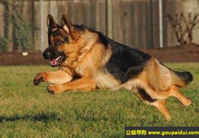 寻狗启示,德国牧羊犬 - 警惕、且充满活力,它是一只非常可爱的宠物狗狗,希望它早日回家,不要变成流浪狗。