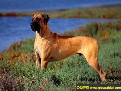 寻狗启示,大丹犬 - 温顺、聪明、不难调教,它是一只非常可爱的宠物狗狗,希望它早日回家,不要变成流浪狗。