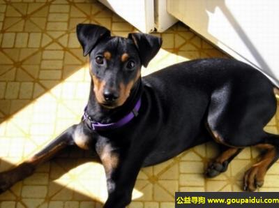 寻狗启示,德国宾莎犬 - 机敏且聪明,它是一只非常可爱的宠物狗狗,希望它早日回家,不要变成流浪狗。