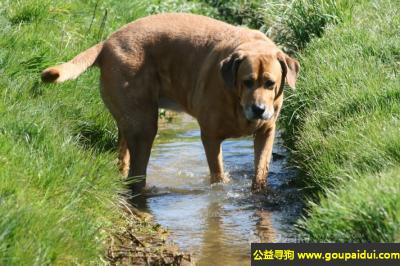 寻狗启示,丹麦布罗荷马獒犬 - 友好、警惕、有自信,它是一只非常可爱的宠物狗狗,希望它早日回家,不要变成流浪狗。
