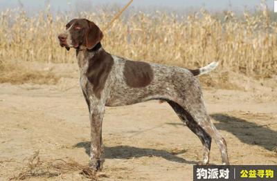 寻狗启示,德国短毛指示犬 - 友善、聪明且乐于助人的狗,它是一只非常可爱的宠物狗狗,希望它早日回家,不要变成流浪狗。