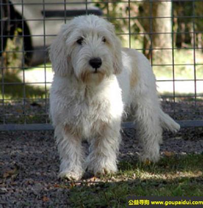 ,大格林芬犬 - 聪明、健壮、固执,它是一只非常可爱的宠物狗狗,希望它早日回家,不要变成流浪狗。