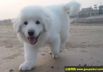 寻狗启示,大白熊犬 - 心地善良、性情沉稳,它是一只非常可爱的宠物狗狗,希望它早日回家,不要变成流浪狗。