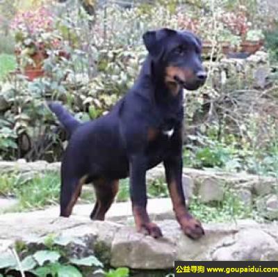 寻狗启示,德国猎梗犬 - 乐于工作,有耐力,可靠,它是一只非常可爱的宠物狗狗,希望它早日回家,不要变成流浪狗。