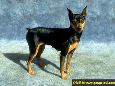 寻狗启示,性格友善遇事镇静的杜宾犬,它是一只非常可爱的宠物狗狗,希望它早日回家,不要变成流浪狗。