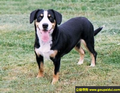 寻狗启示,恩特布山地犬 - 个性服从、友善,人性化,它是一只非常可爱的宠物狗狗,希望它早日回家,不要变成流浪狗。