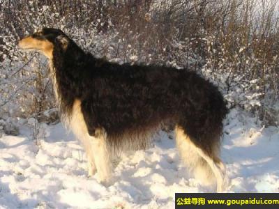 寻狗启示,俄国灵缇犬 - 做事冷静、小心谨慎,它是一只非常可爱的宠物狗狗,希望它早日回家,不要变成流浪狗。