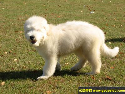 寻狗启示,俄罗斯南部牧羊犬 - 优秀的守门犬,它是一只非常可爱的宠物狗狗,希望它早日回家,不要变成流浪狗。