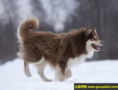 寻狗启示,芬兰驯鹿犬 - 健壮自信,热爱工作,聪明敏捷,它是一只非常可爱的宠物狗狗,希望它早日回家,不要变成流浪狗。