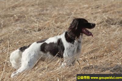 寻狗启示,法国猎犬 - 嗅觉灵敏、狩猎时有耐心,它是一只非常可爱的宠物狗狗,希望它早日回家,不要变成流浪狗。