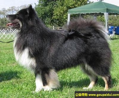 寻狗启示,芬兰拉普猎犬 - 精力充沛,动作敏捷且聪明,它是一只非常可爱的宠物狗狗,希望它早日回家,不要变成流浪狗。