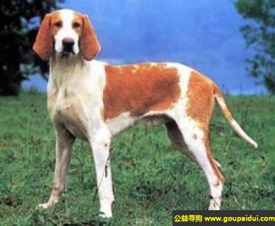 寻狗启示,法国黄白猎犬 - 步态轻松,灵快而且持久,它是一只非常可爱的宠物狗狗,希望它早日回家,不要变成流浪狗。