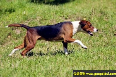 寻狗启示,法国三色猎犬 - 可以长时间的工作,不会攻击人,它是一只非常可爱的宠物狗狗,希望它早日回家,不要变成流浪狗。