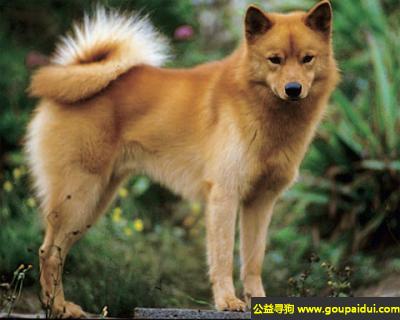 寻狗启示,芬兰狐犬 - 活跃,叫声清亮,它是一只非常可爱的宠物狗狗,希望它早日回家,不要变成流浪狗。