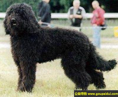寻狗启示,法国水犬 - 敏感、自然、容易调教,它是一只非常可爱的宠物狗狗,希望它早日回家,不要变成流浪狗。