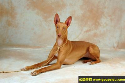 ,法老王猎犬 - 血统高贵,轮廓鲜明,它是一只非常可爱的宠物狗狗,希望它早日回家,不要变成流浪狗。