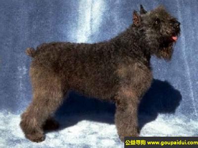 寻狗启示,弗兰德斯牧牛犬 - 冷静,聪明且勇敢,它是一只非常可爱的宠物狗狗,希望它早日回家,不要变成流浪狗。