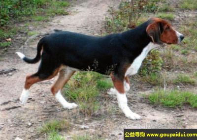 ,芬兰猎犬 - 友好,安静,不好斗,它是一只非常可爱的宠物狗狗,希望它早日回家,不要变成流浪狗。