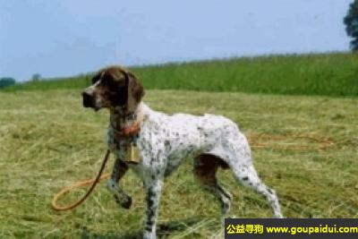 寻狗启示,法国盖斯克格尼指示犬 - 灵敏,有毅力,它是一只非常可爱的宠物狗狗,希望它早日回家,不要变成流浪狗。