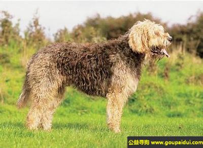 寻狗启示,格里芬尼韦奈犬 - 坚强的性格、顽强的抵抗精神,它是一只非常可爱的宠物狗狗,希望它早日回家,不要变成流浪狗。