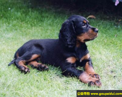 寻狗启示,戈登蹲猎犬 - 聪明、能干、高贵,它是一只非常可爱的宠物狗狗,希望它早日回家,不要变成流浪狗。