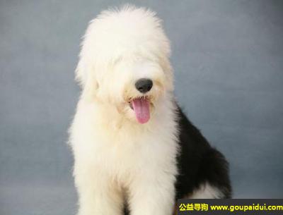 寻狗启示,古牧犬 - 大胆、机敏随和,它是一只非常可爱的宠物狗狗,希望它早日回家,不要变成流浪狗。