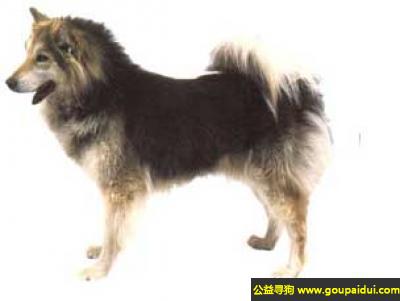 寻狗启示,格陵兰犬 - 聪明、文雅、忠诚,它是一只非常可爱的宠物狗狗,希望它早日回家,不要变成流浪狗。