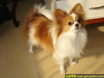 寻狗启示,蝴蝶犬 - 有个性、优雅但健壮,它是一只非常可爱的宠物狗狗,希望它早日回家,不要变成流浪狗。