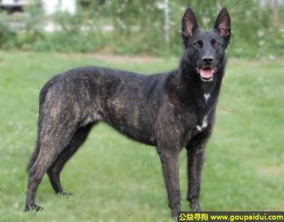 寻狗启示,荷兰牧羊犬 - 机灵敏捷,善于捕捉,顺从,它是一只非常可爱的宠物狗狗,希望它早日回家,不要变成流浪狗。