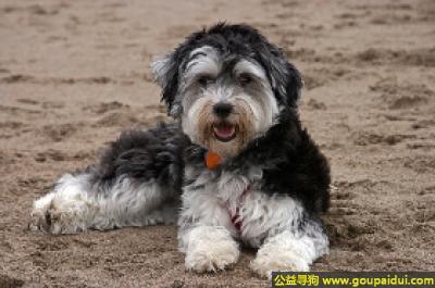 寻狗启示,哈威那伴随犬 - 容易训练且具有警惕性,它是一只非常可爱的宠物狗狗,希望它早日回家,不要变成流浪狗。
