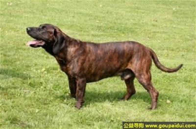 ,汗挪威嗅猎犬 - 冷静、敏感,对陌生人具有警惕性,它是一只非常可爱的宠物狗狗,希望它早日回家,不要变成流浪狗。