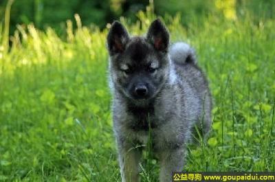 寻狗启示,灰色挪威猎鹿犬 - 勇敢、活泼、有毅力,它是一只非常可爱的宠物狗狗,希望它早日回家,不要变成流浪狗。