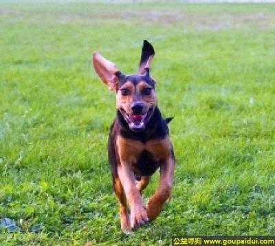 寻狗启示,黑褐猎浣熊犬 - 性情平和,喜欢外出,且友善,它是一只非常可爱的宠物狗狗,希望它早日回家,不要变成流浪狗。