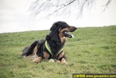 寻狗启示,霍夫瓦尔特犬 - 性格友好,聪明果断,它是一只非常可爱的宠物狗狗,希望它早日回家,不要变成流浪狗。