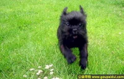 寻狗启示,猴面梗犬 - 勇敢、机警、聪明,很健壮,它是一只非常可爱的宠物狗狗,希望它早日回家,不要变成流浪狗。