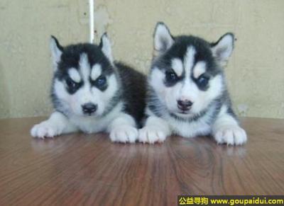寻狗启示,哈士奇犬 - 警觉并喜欢交往,它是一只非常可爱的宠物狗狗,希望它早日回家,不要变成流浪狗。