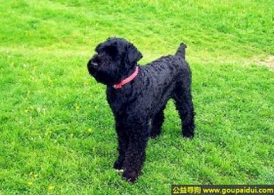寻狗启示,俄罗斯黑梗犬 - 较为活跃、精力充沛、耐寒,它是一只非常可爱的宠物狗狗,希望它早日回家,不要变成流浪狗。