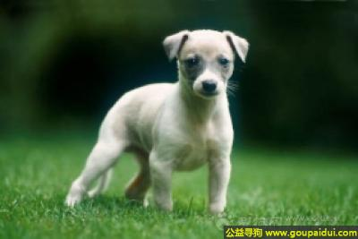 寻狗启示,惠比特犬 - 温柔、活泼、乐观,它是一只非常可爱的宠物狗狗,希望它早日回家,不要变成流浪狗。