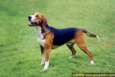 寻狗启示,汉密尔顿猎犬 - 友好且忠诚,它是一只非常可爱的宠物狗狗,希望它早日回家,不要变成流浪狗。