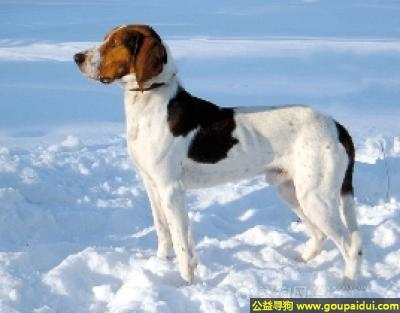 寻狗启示,哈尔登猎犬 - 精力充沛, 无忧无虑, 好运动,它是一只非常可爱的宠物狗狗,希望它早日回家,不要变成流浪狗。