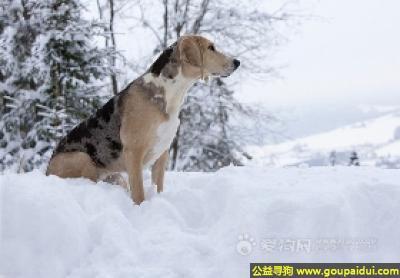 寻狗启示,海根猎犬 - 聪明,顺从,对主人感情深厚,它是一只非常可爱的宠物狗狗,希望它早日回家,不要变成流浪狗。