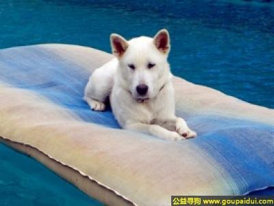 寻狗启示,纪州犬 - 天真,忠诚、善良,它是一只非常可爱的宠物狗狗,希望它早日回家,不要变成流浪狗。