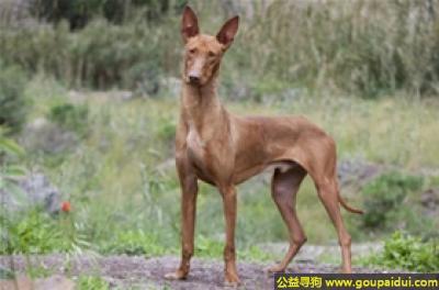 寻狗启示,加那利沃伦猎犬 - 活泼,有克制力,它是一只非常可爱的宠物狗狗,希望它早日回家,不要变成流浪狗。